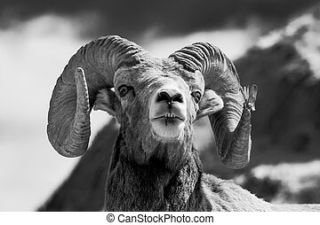 grande, cuerno, Sheep, Headshot, retrato