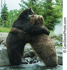 Two Grizzly Brown Bears Fighting and playing