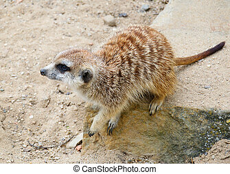 Suricate - Cute suricate on rock in Prague zoo