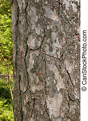 Corsican Pine Trunk Bark - Trunk bark from the Corsican Pine...