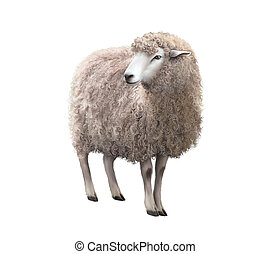 Front view of a Sheep looking away. Illustration isolated on...