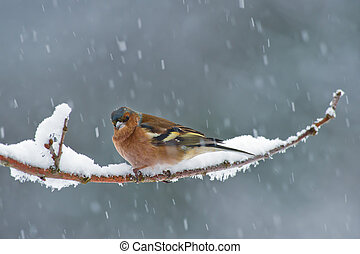 The Chaffinch - The male Chaffinch on a snowy twig with snow...