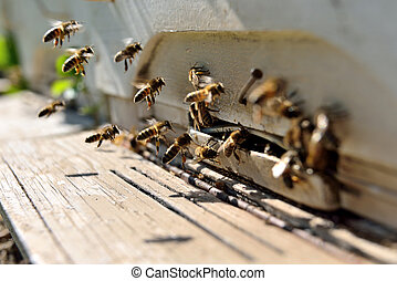Life of bees. Reproduction of bees - bees flying in front of...