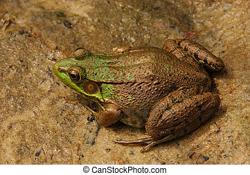 Green Frog on Stone - A Green Frog Rana clamitans on a stone...