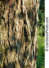 Red Maple Trunk Bark - Trunk bark for the Red Maple Acer...