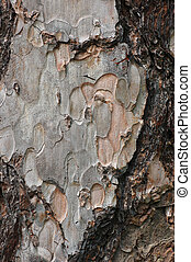 Corsican Pine Trunk Bark - Trunk bark for the Corsican Pine...