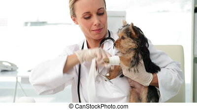 Smiling vet wrapping a yorkshire terriers injury - Smiling...