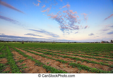 Turf Farm - Buffalo grass - Turf farm at Freemans Reach, NSW...