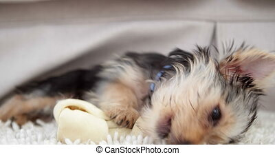 Cute yorkshire terrier puppy chewing on a bone at home in...
