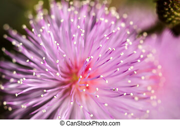 Macro of pink flowers sensitive plant mimosa pudica