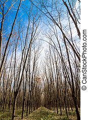 Rubber trees shed their leaves, in autumn.