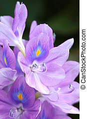 Purple water hyacinth flowers are blooming. In the area of...