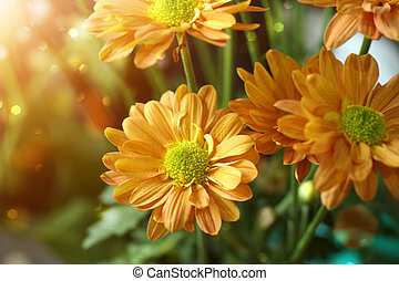Orange chrysanthemum flower.