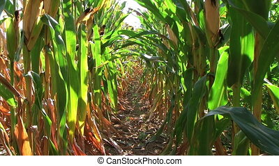 Corn Row Zoom - Slow zoom down row of corn