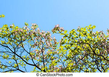 Pink flowering dogwood tree (Cornus florida) in bloom in...