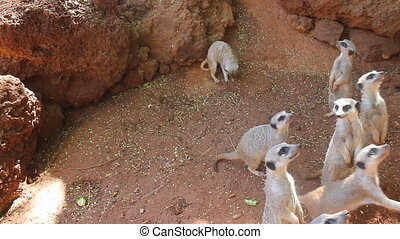 hungry meerkats