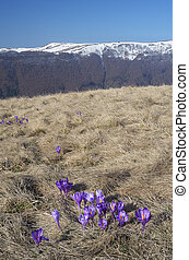 Crocuses blooming in the mountains