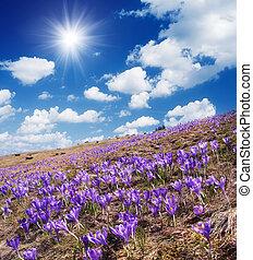Field of blooming crocus