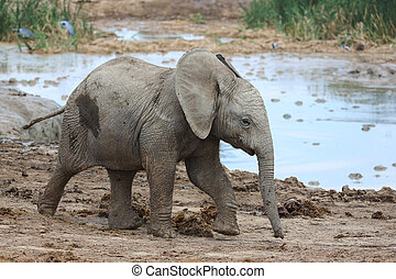 Baby African Elephant at Water Hole - Cute baby African...
