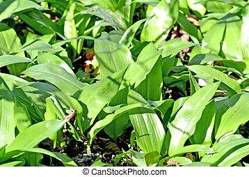 Wild garlic in a German forest