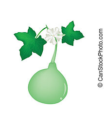 A Bottle Gourd Plant on White Background - Vegetable and...
