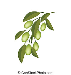 Green Olives on A Branch on White Background