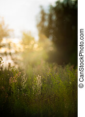 Grasses on sunset in meadow