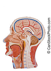 Cross Section Of Human Head - Cross section of human head...