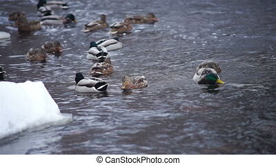 Flock of ducks hunting in forest river