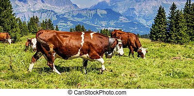 Alpine cows - Cow, farm animal in the french alps, Abondance...