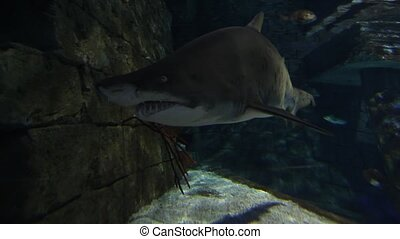Tiger sand shark in turkuazoo aquarium in Istanbul Shark...
