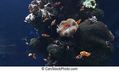 Clown fishes in aquarium - Clown fishes and zebrasoma yellow...