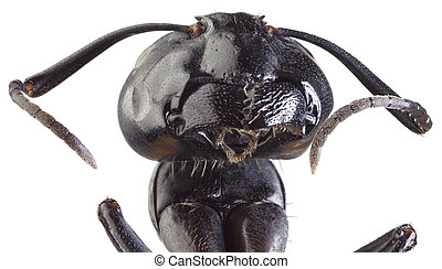 Black Ant Cutout