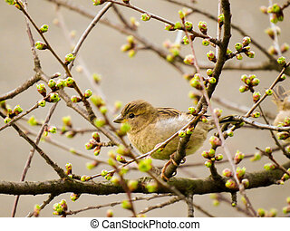 Spring sparrow - Sparrow,Passeridae in spring time