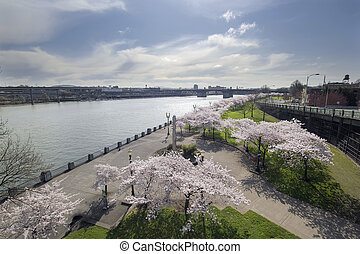 Cherry Blossoms Along Portland Willamette River - Cherry...