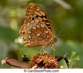 Damanged Great Spangled Fritillary - A Great Spangled...