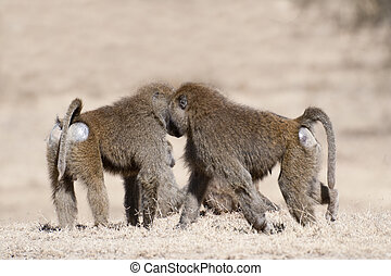 baboon family on the rest - Two adult baboons in front of...