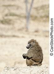 baboon - Thoughtful baboon sitting on hill in Masai Mara...