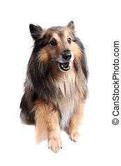 Sheltie dog giving paw