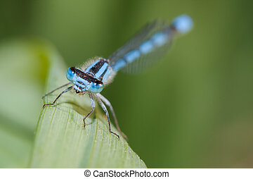 Common Blue Damselfly with very bright blue colors