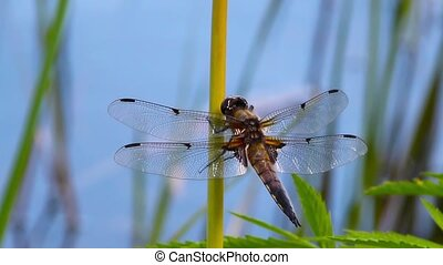 dragonfly on a blade