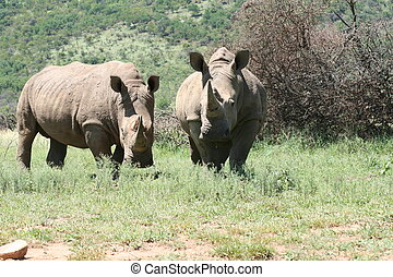Wild Live - White Rino Male Female