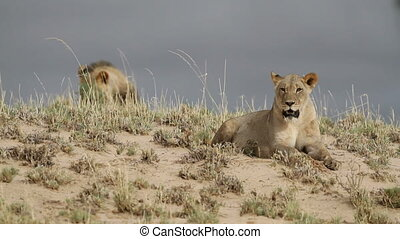 African lions - Watchful pair of African lions Panthera leo...