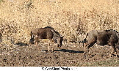Blue wildebeest Connochaetes taurinus, walking in grassland,...