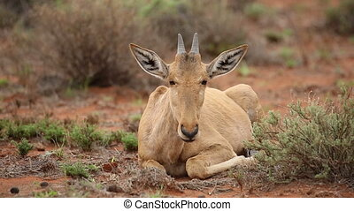 Red hartebeest calf - Red hartebeest (Alcelaphus buselaphus)...