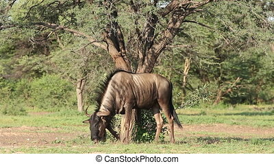 Territorial blue wildebeest - Blue wildebeest Connochaetes...
