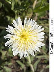 flower of the white dandelion