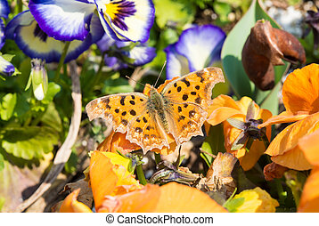 butterfly which are in the flower bed of pansies - This is a...