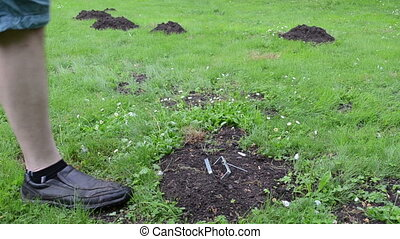 mole hill trap lawn - gardener in shorts take out empty mole...