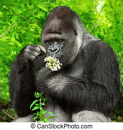 Gorilla observing a bunch of flowers - Large silverback...